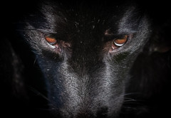 Ani beast mode (www.altglas-container.de) Tags: ani augen pet schwarz dog black eyes haustier hund