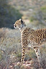 Majestic (vapour trail) Tags: south africa country continent sanbona wildlife reserve safari montagu animal wild desert semi cheetah feline spots coat fur face teeth