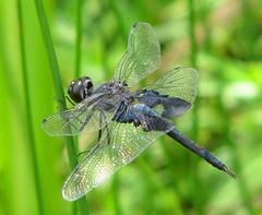 Black saddlebags  (Tramea lacerata) (Vicki's Nature) Tags: blacksaddlebags big blue dragonfly wings patch green biello georgia vickisnature canon s5 9224 tramealacerata