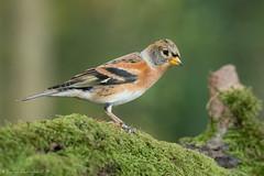 Pinson du Nord (DorianHunt) Tags: birds bokeh switzerland october 2019 nikond500 sigma 150600mm brambling