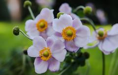 Charming flowers (Jose Rahona) Tags: flores flowers jardin garden parque park hojas petalos petals