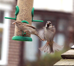 Move over darling ! (Blossom's Mom.(Sheila Hess)) Tags: birds sparrows male female garden october 2019