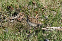Woodlark Grounded (CJT29(No longer Pro)) Tags: lullulaarborea newforest bird birds hampshire cjt29