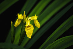 yellow iris (J.Ultee) Tags: yellorwiris irispseudacorus waterlily yellow green blossoms petal nikond750 captureone
