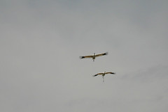 Whooping cranes (MyFWCmedia) Tags: bird whoopingcrane habitatandspeciesconservation nature outdoors wildlife flying florida osceolacounty publiclands threelakeswildlifemanagementarea wma wildlifemanagementarea usa