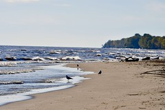 Long Point Beach (dbfam) Tags: long point beach nikon d7500 tamron 70200mm ontario october 2019 bird white yellow beige black beak walking birds seagulls silhouette water wind waves trees sandy sand crop sensor camera photography dx dslr f28