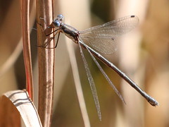Swamp Spreadwing at Capik Nature Preserve (Tombo Pixels) Tags: capik192968 swampspreadwing swamp spreadwing ode odonata odonate dragonfly damselfly nj newjersey twb1 capikpreserve capiknaturepreserve pinelands pinebarrens