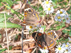 Common Buckeyes at Capik Nature Preserve (Tombo Pixels) Tags: capik193182 commonbuckeye butterfly nj newjersey twb1 capikpreserve capiknaturepreserve pinelands pinebarrens