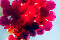 Cluster (tonguedevil) Tags: outdoor outside countryside autumn nature woodland forest fruit berries red colour light shadows sunlight morning
