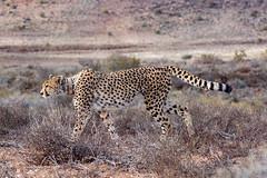 Prowl (vapour trail) Tags: south africa country continent sanbona wildlife reserve safari montagu animal wild desert semi cheetah feline spots coat fur face teeth