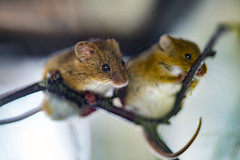 Two cute Eurasian harvest mice (Tambako the Jaguar) Tags: eurasianharvestmouse mouse small cute rodent two together posing branch portrait face perched macro johnskleinefarm zoo kallnach switzerland nikon d5