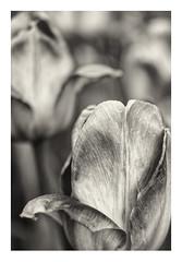 Tulips (werner.marx.kell) Tags: foveon sigmadp3m macro flowers