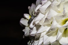 bluete im makro (rolf.duesseldorf) Tags: raindrops flower blossoms makro