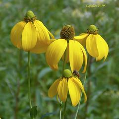 Een beetje zon voor een griize dag. (Cajaflez) Tags: jaune gelb geel yellow blume fleur bloem flower coth5