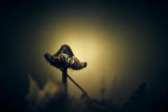 Shroomhouette (micke.vmix) Tags: carlzeiss zeiss aposonnart2135 sonnar135f2zf d850 mushroom