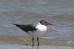 Laughing Gull (Larus atricilla), Sullivan's Island, South Carolina. 29th March 2009. IMG_1607 (stevenbrown365) Tags: larusatricilla laughinggull sullivansisland