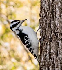 Hairy Woodpecker - female (mahar15) Tags: bird femalewoodpecker outdoors woodpecker wildlife femalehairywoodpecker hairywoodpecker nature