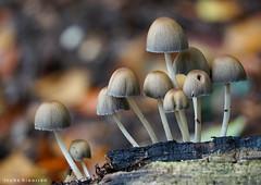 Enjoying autumn! (Ineke Klaassen) Tags: sony sonya6000 sonyimages sonyalpha sonyalpha6000 sonyilce6000 sonyphotographer sonyphotography mushroom mushrooms paddenstoel paddenstoelen autumn fall herfst forest bos rozendaal gelderland geldersestreken nederland 25favs 25fav 25faves zoomnl bokeh fungus fungi 50fav 50favs 50100fav 50faves 400views 55fav 55favs 55faves