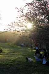 Sakura Festival - 2016 (dzparq) Tags: flores flowers sakura cerejeiras underexposure subexposição shadows shades sombras nature natureza