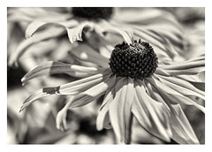 Coneflower (werner.marx.kell) Tags: flowers macro sigmadp3m foveon
