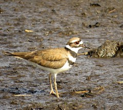 Killdeer (Gary Helm) Tags: bird birds image photograph killdeer outside outdoor water mud wildlife animal nature ghelm4747 garyhelm osceolacounty florida peavineroad plover pastures grass golfcourse open areas airports lawns canon sx60hs powershot camera floridawildlife fly flight feathers