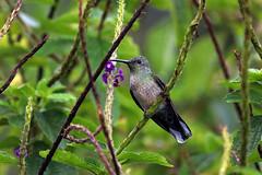 Volcano Spirit (Chris Milligan Photo) Tags: hummingbird volcano bird tiny miniscule miniature smallest fast wild wildlife nature natural animal birdlife birdwatching birding costa rica puravida cr costarica jungle rainforest alajuela chrismilliganphoto chris milligan ubhejane