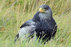 Ultimate Power (Chris Milligan Photo) Tags: black chested buzzard eagle bird birdwatching birding aguila south america chile chilean patagonia patagonian magellanes torresdelpaine torres del paine predator scavenger grassland chris milligan ubhejane chrismilliganphoto
