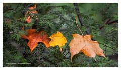 Stuck (Stu Starwalker) Tags: leaves forest colour fall rain drops ontario canada