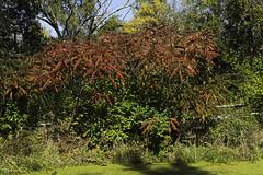 Sumac Blooming (elpeterso69) Tags: heronhaven landscapes sumac nature naturephotography photography photoart photograph photo picture artistic photographicart omahane omaha nebraska iowa midwest dsc01613