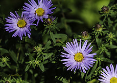 Aster (elpeterso69) Tags: fall flowers heronhaven frostflower aster michaelmasdaisy dsc01621 nature naturephotography photography photoart photograph photo picture artistic photographicart flora floral leaves flower plant fungus plants omahane midwest nebraska