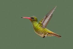 Picaflor Bronceado (J Chiavo) Tags: beijaflordourado birdphotography birdwatching canon400f56 canon6d gildedhummingbird hylocharischrysura marcospaz nature picaflorbronceado