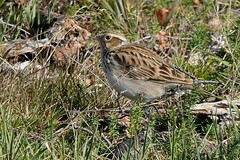 Heathland Woodlark (CJT29(No longer Pro)) Tags: woodlark lullulaarborea newforest bird birds hampshire cjt29