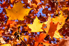 Maple Leafs (caribb) Tags: 2019 abstract fall autumn color colour colorful colourful pretty nature garden sunny bright leaves fallleaves mapleleaves mapleleaf canada
