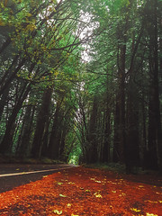 PUMPKIN SPICE-REDWOODS-AOTG-NORTH ENTRANCE-10-16-2019-2448WX3264H-300PPI © Fizz Oz - MISS SUNSHINE PROJECT ALL RIGHTS RESERVED (codyjacobson@zenmountainmedia.com) Tags: autumn halloween redwoods avenue of the giants humboldt forest trees leaves rain mist fog overcast moody fall highway 254 california north coast
