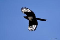 (Enllasez - Enric LLaó) Tags: garsa aves aus bird birds ocells pájaros 2019 tarragona urraca