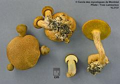 Pseudoboletus parasiticus (Bull. : Fr.) Šutara (B) / Bolet parasite (Schtroumpfus criticus / Yves Lamoureux) Tags: boletusparasiticus pseudoboletusparasiticus xerocomusparasiticus parasiticus yl3137 pseudoboletus