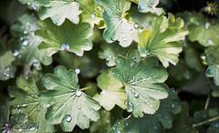 raindrops (LeFiFo) Tags: analog analogue lefifo photography summer raindrops leaves details