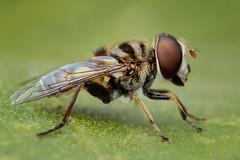 Syrphidae (J Chiavo) Tags: argentina buenosaires canon6d mpe65 macro macrofotografía macrophotography moscadelasflores recs reservaecologica sirfido sirphidae