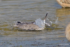 Willet, bathing, Malibu Lagoon, CA CQ4A4833 (Hart Walter) Tags: malibulagoon willet marbledgodwit heermannsgull royaltern whimbrel brownpelican