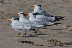 Royal Terns, Malibu Lagoon, CA CQ4A4872 (Hart Walter) Tags: malibulagoon willet marbledgodwit heermannsgull royaltern whimbrel brownpelican