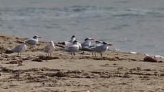 Royal Terns, Malibu Lagoon, CA CQ4A4780 (Hart Walter) Tags: malibulagoon willet marbledgodwit heermannsgull royaltern whimbrel brownpelican