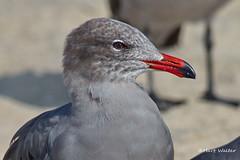 Heermann's Gull, head, Malibu Lagoon, CA CQ4A4868 (Hart Walter) Tags: malibulagoon willet marbledgodwit heermannsgull royaltern whimbrel brownpelican