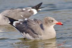 Heermann's Gull, Malibu Lagoon, CA CQ4A4825 (Hart Walter) Tags: malibulagoon willet marbledgodwit heermannsgull royaltern whimbrel brownpelican