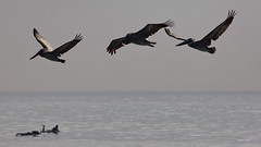 Brown Pelicans, flying, Malibu Lagoon, CA CQ4A4781 (Hart Walter) Tags: malibulagoon willet marbledgodwit heermannsgull royaltern whimbrel brownpelican