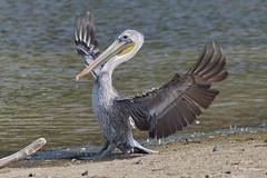Brown Pelican, landing, Malibu Lagoon, CA CQ4A4807 (Hart Walter) Tags: malibulagoon willet marbledgodwit heermannsgull royaltern whimbrel brownpelican