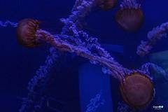 Jelly fish (capellini.chiara) Tags: jellyfish méduse qualle animali animal sea mare medusa