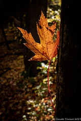 Stuck in the trunk (Claude Tomaro) Tags: fall claude tomaro backlight maple trunk forest leaf