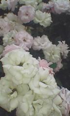 1998CAM_2019_10_12_16_38_10_FN (anthonyandr2016) Tags: flores flowers colores colors pétalos rosado rosa roses flickr talento flora tumblr sueños amor hojas natural naturaleza biodiversidad ecuador manabí flavioalfaro