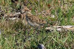 Woodlark (CJT29(No longer Pro)) Tags: lullulaarborea newforest bird birds hampshire cjt29