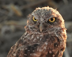 This Burrowing Owl Disapproves. (Ruby 2417) Tags: burrowing owl bird wildlife nature davis yolo farm rare rarity threatened endangered glare disapproval